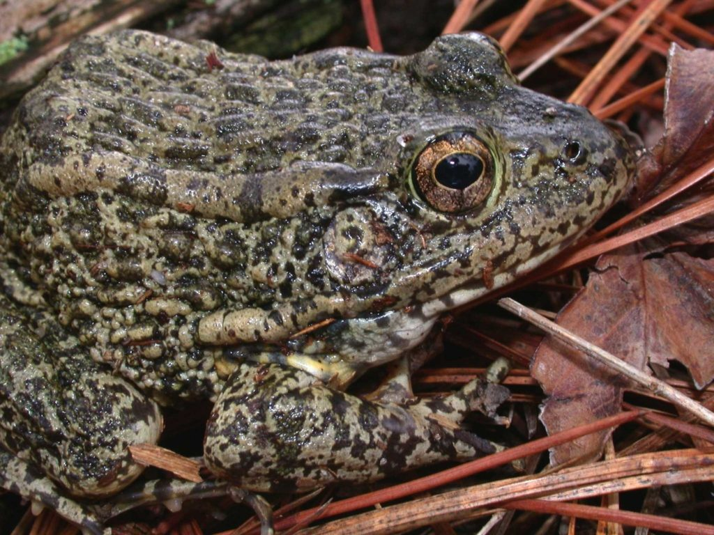 Recommended Best Management Practices for the Gopher Frog on Department of Defense Installations