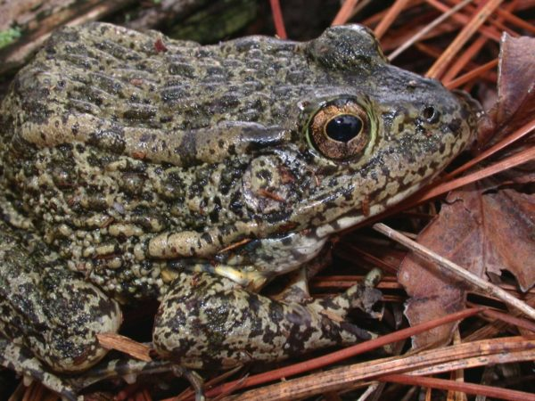 Recommended Best Management Practices for the Gopher Frog on Department of Defense Installations Recommended