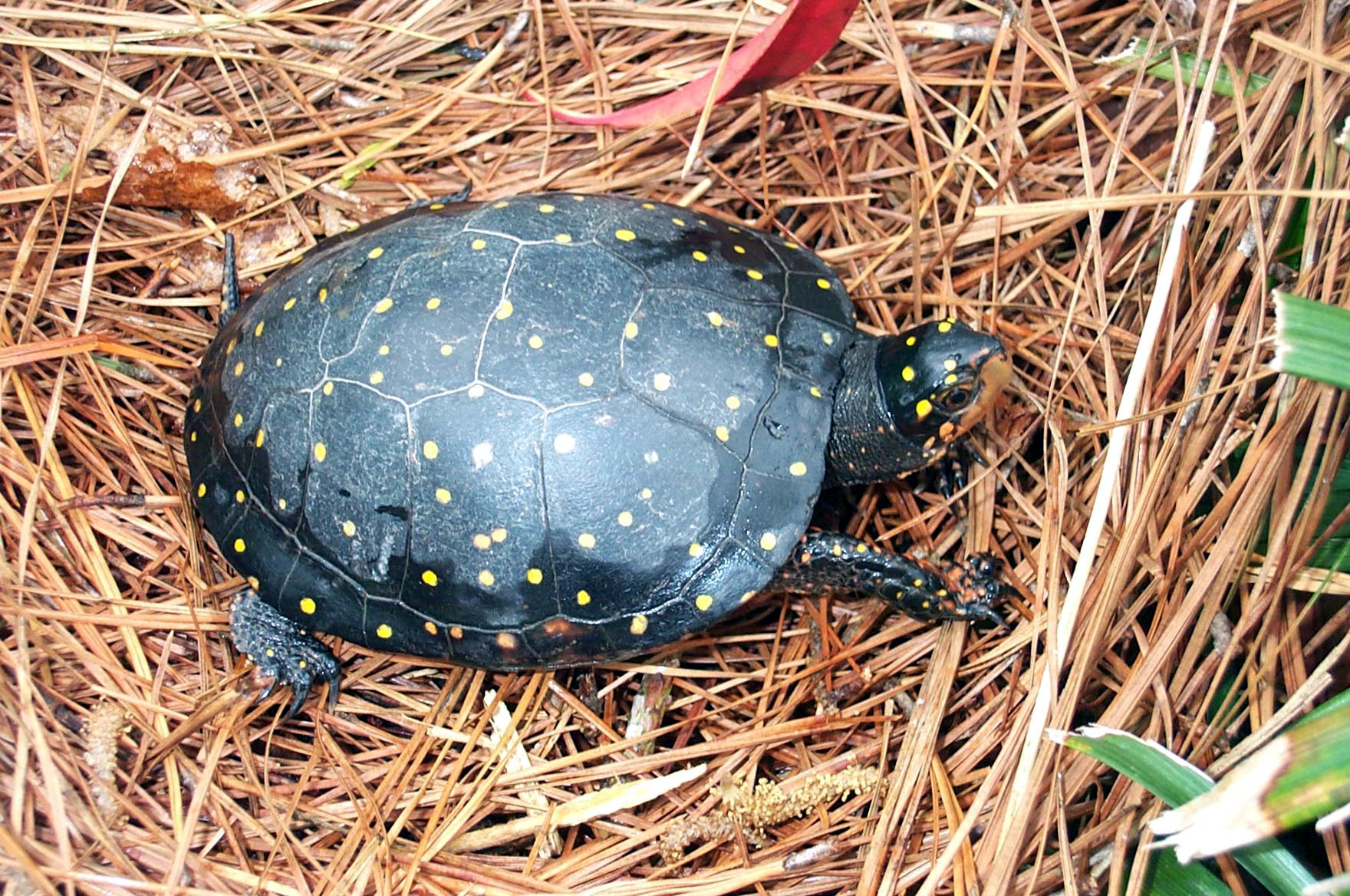 Recommended Best Management Practices for the Spotted Turtle on Department of Defense Installations