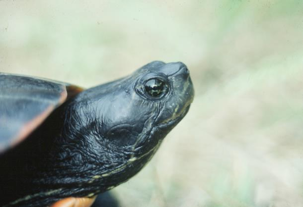 Recommended Best Management Practices for the Northern Red-bellied Cooter on Department of Defense Installations