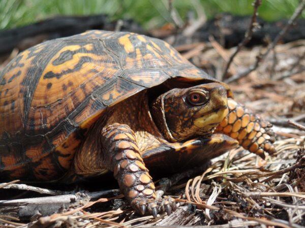 Collaborative to Combat the Illegal Trade in Turtles (CCITT)