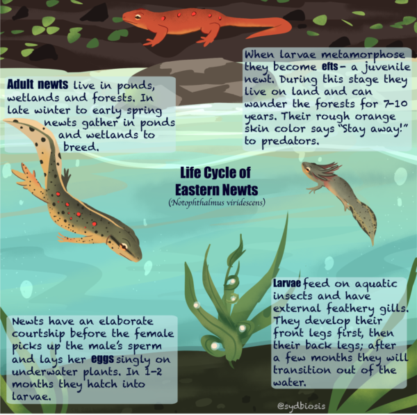 Secret Lives of Amphibians infographic, created by Sydney Horan