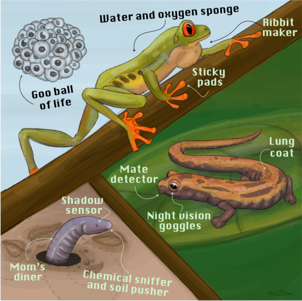 Un-science: an Amphibian infographic, created by Nina McDonnell