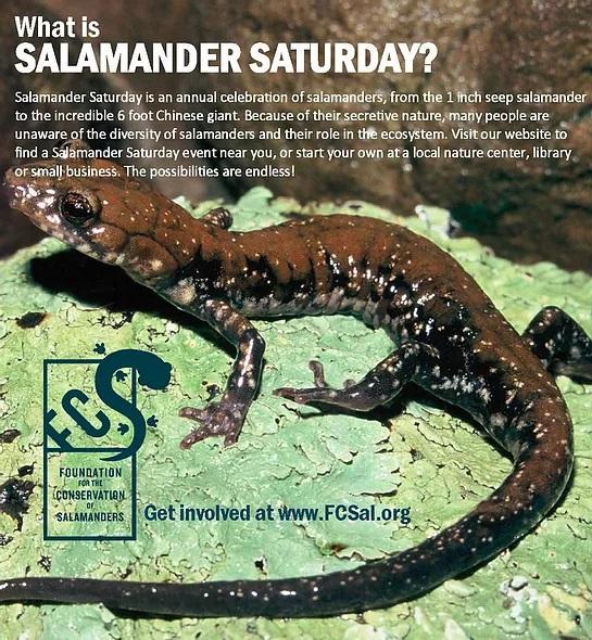 Amphibian Week 2021: Salamander Saturday